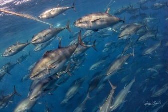 Bluefin tuna - Gold from ocean